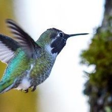 How Hummingbirds Sense Movement While Hovering