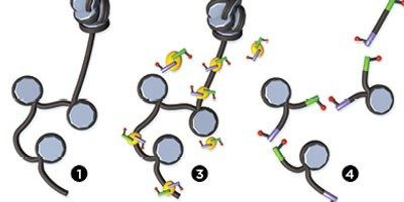 New Technique Enables Observation of Accessible Chromatin