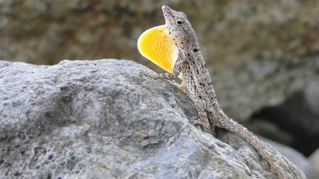 darwinian lizards the scientist magazine