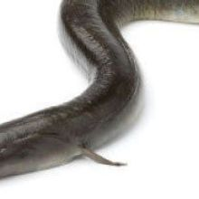 Researchers Track Eels on Their Cross-Atlantic Migration