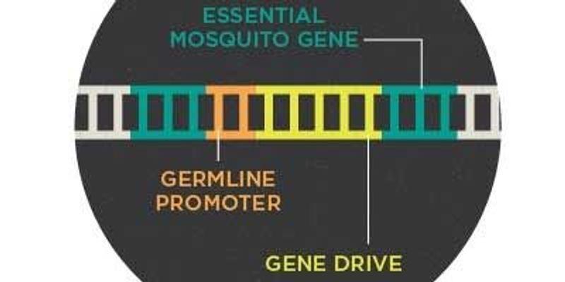 Infographic: Using Gene Drive to Control Malaria