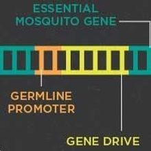 Infographic: Using Gene Drive to Control Malaria