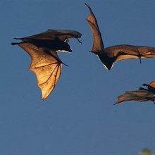 Fruit Bats Argue Using Nuanced Communication