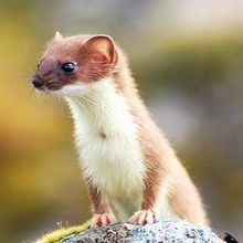 Image of the Day: Littlest Weasel