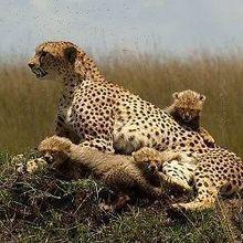 Cheetah Range Drops 90 Percent | The Scientist Magazine®