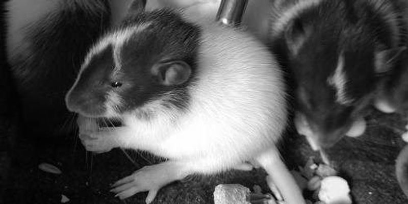 Study: Rat Moms' Diets Affect Offspring Obesity Risk