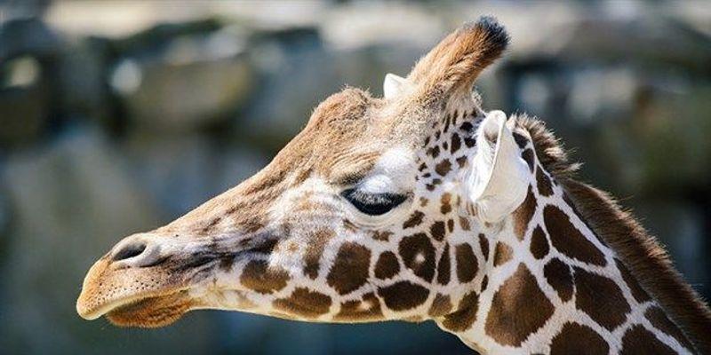 IUCN Declares Giraffes Vulnerable to Extinction