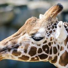 IUCN Declares Giraffes Vulnerable to Extinction
