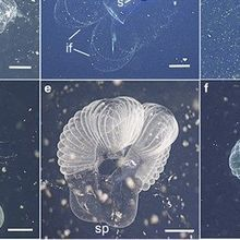 Image of Day: Long Lost Larvacean