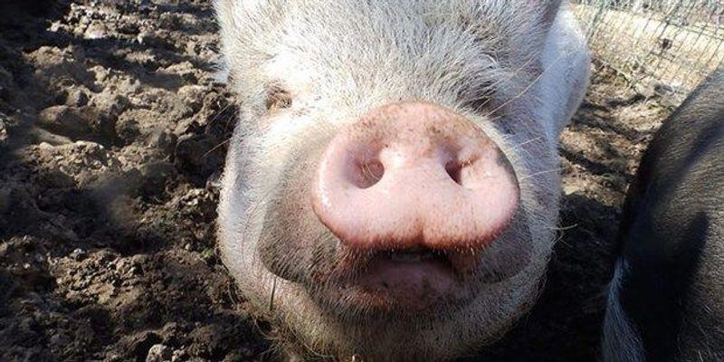 Superbug Gene Found on Pig Farm