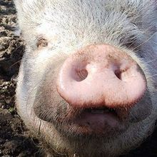 Superbug Gene Found on Pig Farm