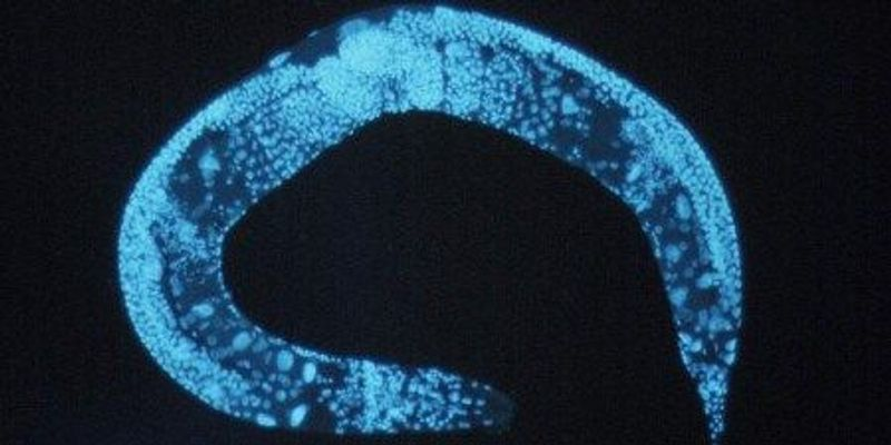Controlled Splicing Extends Life Span in Roundworms