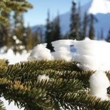 Distantly Related Conifers Share a Surprising Number of Cold-Tolerance Genes