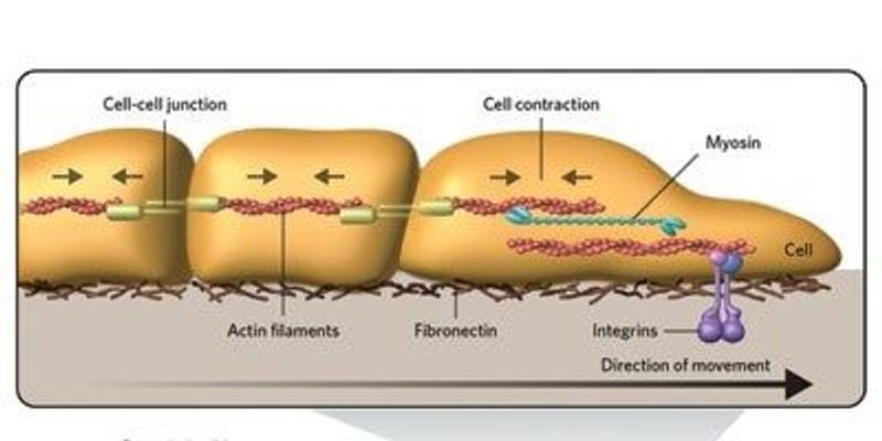 Cells Follow Stiffness Gradients by Playing Tug-of-War