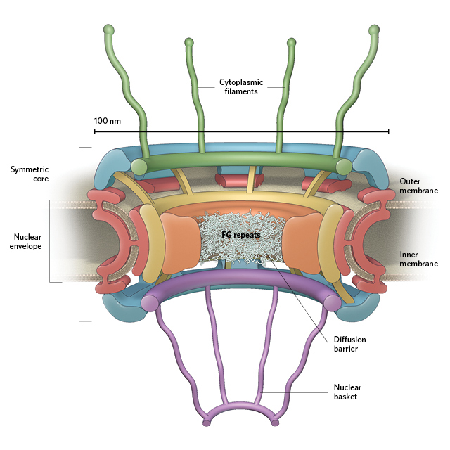 Infographic: The Nuclear Pore Complex | The Scientist ... Nuclear Pore