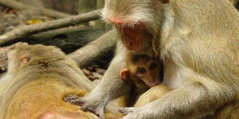 Low Social Status May Weaken Immune System in Monkeys