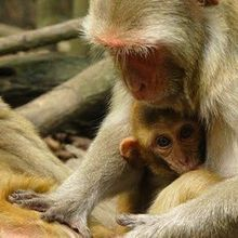 Low Social Status May Weaken Immune System in Monkeys