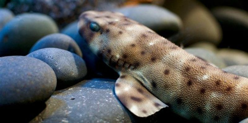 Report: Swellshark Capable of Asexual Reproduction