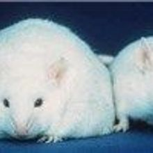 Altered Microbiome Contributes to Exaggerated Post-Diet Weight Regain in Mice
