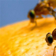 """Food Coma"" Phenomenon Studied In Fruit Flies"