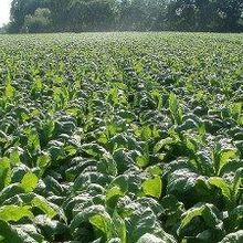 Genetic Modification Improves Photosynthetic Efficiency