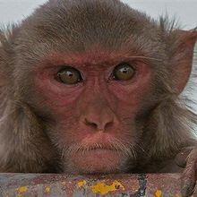 Brain Implant Helps Paralyzed Monkeys Walk Again