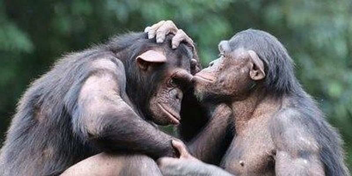 companionship may help chimps chill out the scientist magazine