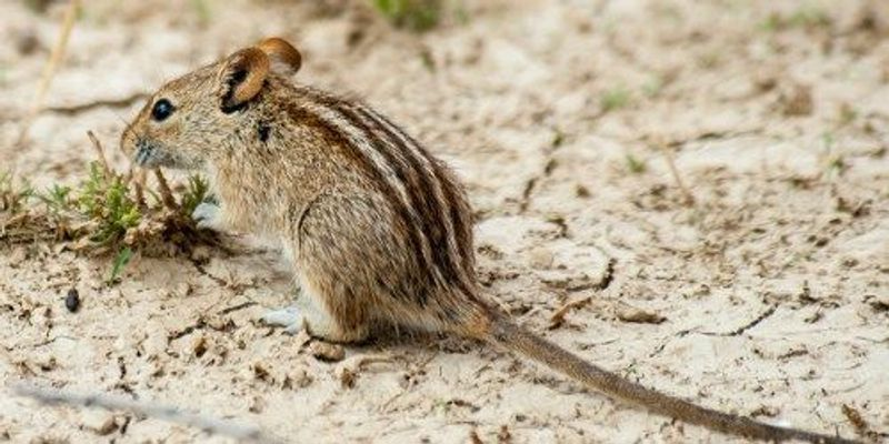 How These Rodents Got Their Stripes