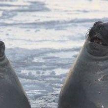 Seals Help Oceanographers Explore Underwater