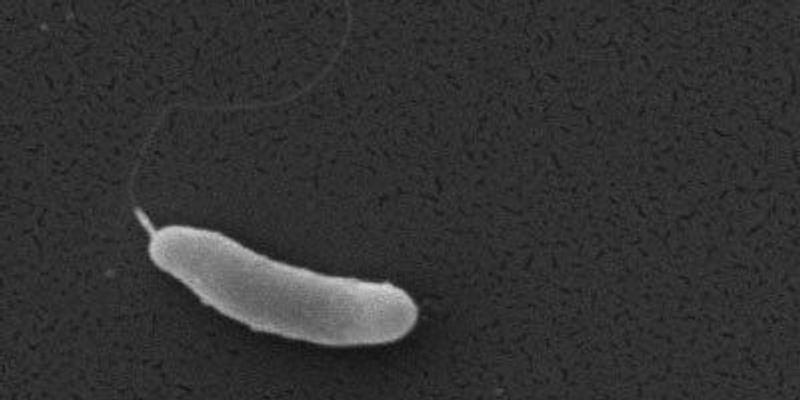 Antarctic Bacteria Latch Onto Ice with Molecular Fishing Rod
