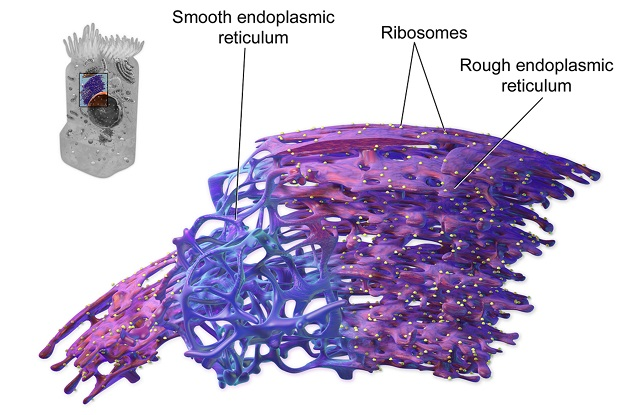 endoplasmic reticulum structure revealed