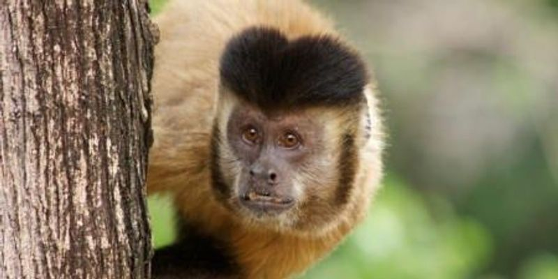 Monkey Tools and Early Human Ingenuity