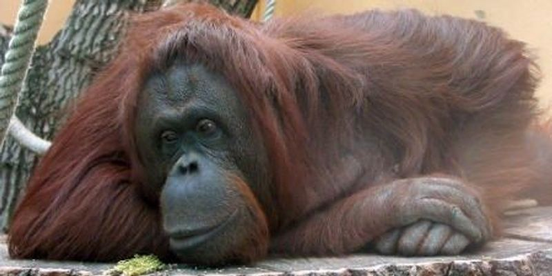 Apes Seem Capable of Inferring Others' Thoughts