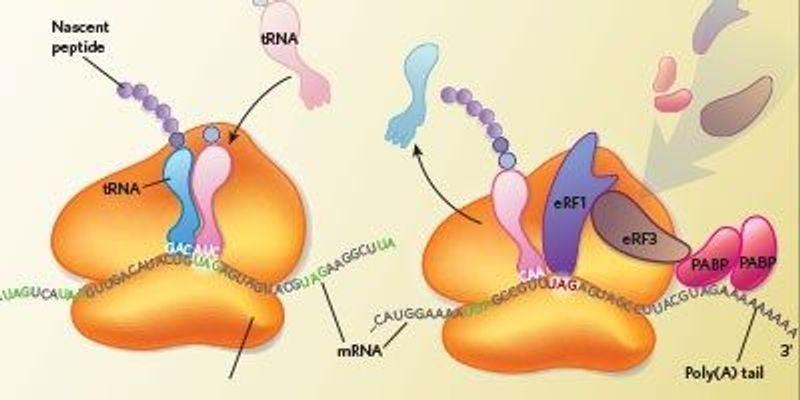 Ciliates Are Genetic-Code Deviants