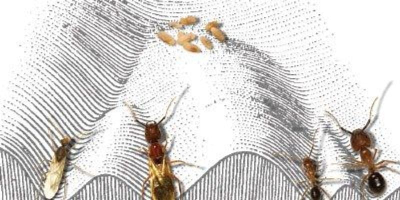 """Researchers Grow """"Frankenstein Ants"""" to Study Epigenetics"""