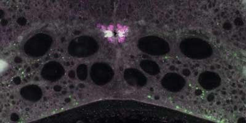 pH Detectors in Lamprey Spinal Cords Control Cell and Locomotor Activity