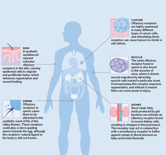Geruchsrezeptoren für Spermien — foto 10