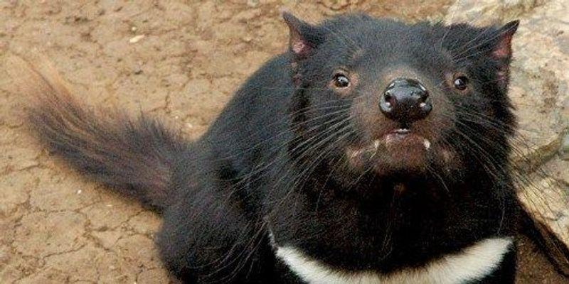 Tasmanian Devils Developing Resistance to Transmissible Cancer