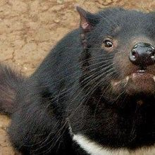 Tasmanian Devils Developing Resistance to Transmissible Cancer