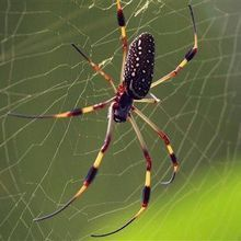 "Spider Silk ""Superlens"" Breaks Microscopy Barrier"