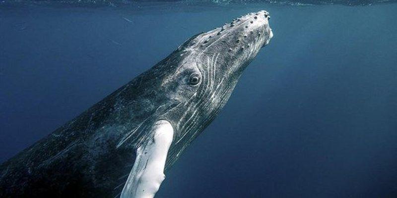 Study: Ship Noise Disturbs Humpback Whales' Meals