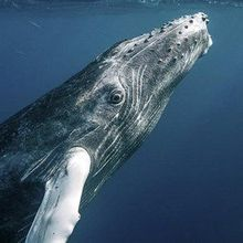 Study: Ship Noise Disturbs Humpback Whales' Meals