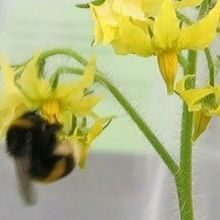 Bumblebees Pick Infected Tomato Plants