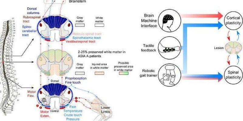 Brain-Machine Interface Training Triggers Recovery