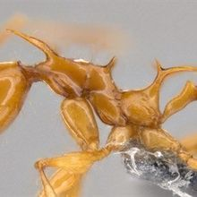 Image of the Day: Dragon Ants