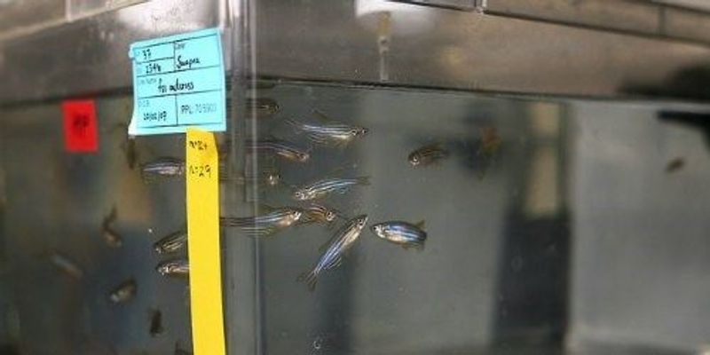 Fish Behavior Affected by Parasite