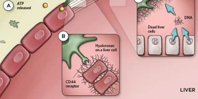Macrophages Respond to Liver Injury