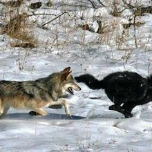 Image of the Day: Wolf Genomics