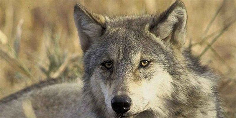 Wolf Species Are Part Coyote