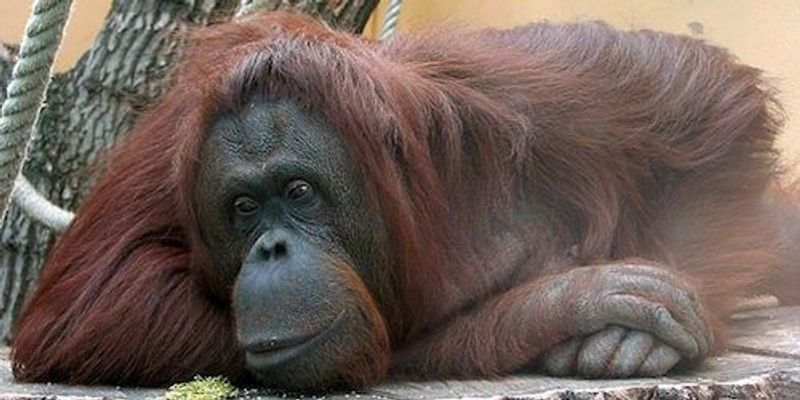 Orangutan Imitates Human Speech